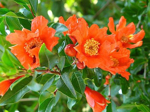 květy granátovníku (Punica granatum)