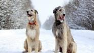 Irský vlkodav také patří mezi psí plemena ohrožená torzí žaludku.