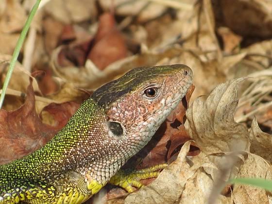 ještěrka se ráda schová v listí