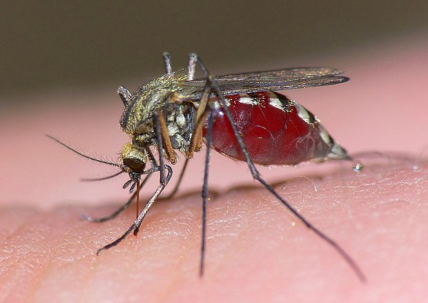 komár - nevítaný hmyz