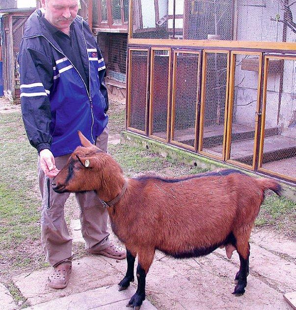 Koza hnědá krátkosrstá