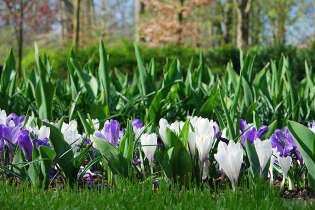 Jarní cibuloviny patří mezi nejoblíbenější okrasné květiny