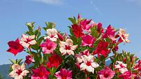 Dipladénie (Mandevilla) patří k oblíbeným balkonovým rostlinám.
