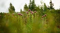 Parcha, též Leuzea saflorová (Rhaponticum carthamoides)