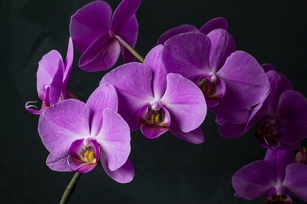 Phalaenopsis patří k nejčastěji pěstovaným orchidejím v našich domácnostech.