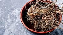 """Léčivé """"maralí"""" kořeny parchy saflorové"""
