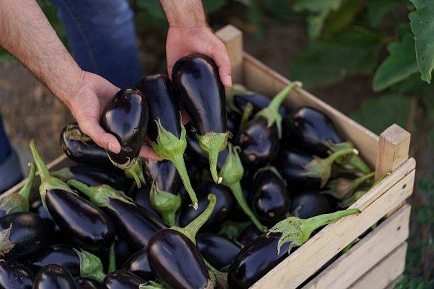 Zralé plody sklízejte i se stopkou, hned když se plně vybarví a mají lesklou slupku.