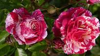 Mnohokvěté růži Abracadabra, které je barevně velmi výrazná, to nejlépe sluší v sousedství bílých či světle růžových květů jiných rostlin