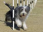 Bearded kolie je temperamentní pes, který miluje pohyb.