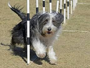 Bearded kolie je temperamentní pes, který miluje pohyb, díky němu je šťastný