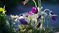 Květy konikleců jsou okouzlující.