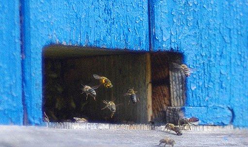 česno - včelí vstup do úlu