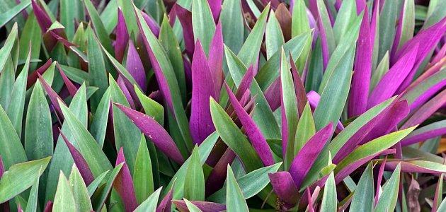 Kultivary voděnky bledé mají listy podlouhlé, celé či zespodu fialové