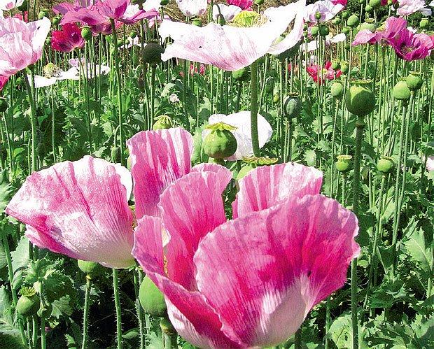 Krajové máky mají krásné květy