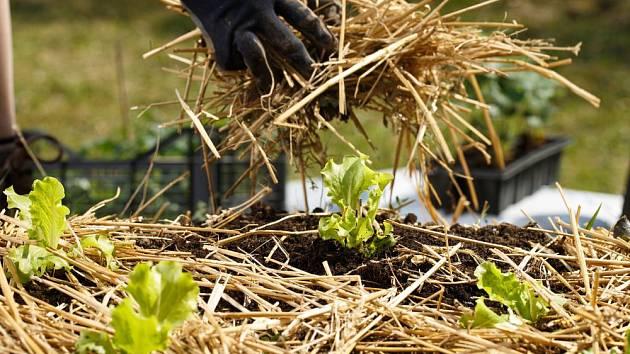 Nastýlání půdy kolem salátových sazenic slámouu