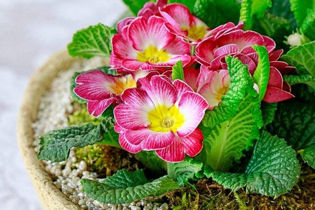 Primulky vysazené v keramické misce a doplněné mechem a kamennou drtí.
