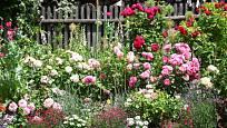 Vhodně zvolené růže zkrášlí zahrádku množstvím květů.
