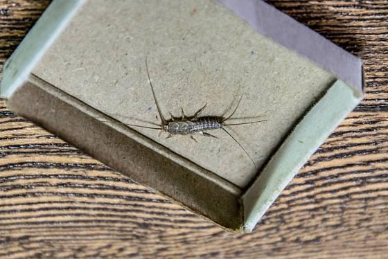 Je to drobný a nenápadný hmyz