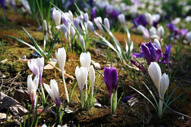 Šafrán jarní je ideální ke zplanění v louce