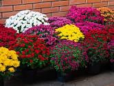Rozkvetlé posvátné chryzantémy oživí každou zahradu i terasu.