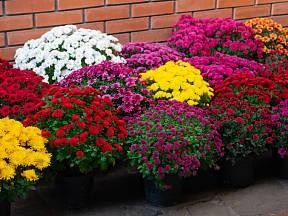 Rozkvetlé chryzantémy oživí každou zahradu i terasu.