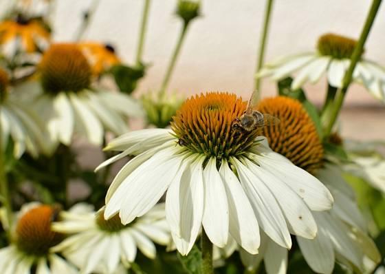 Třapatka nachová nadělá mnoho krásy, přitom má i léčivé účinky.