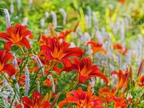 Trvalky neboli vytrvalé byliny jsou víceleté nedřevnaté rostliny