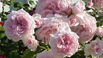 Růže odrůdy Alexandra Princesse de Luxembourg