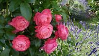 Růže odrůdy Rosanna