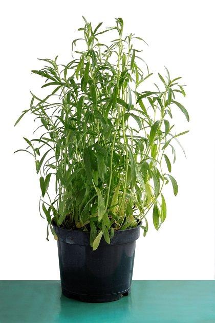 Estragon se dá pěstovat i v květináči.