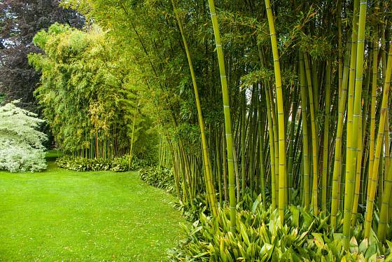 Bambusový hájek může růst i v Evropě. Itálie, park Villa Melzi, Bellagio