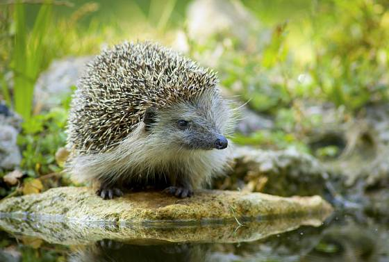 Břeh jezírka upravíme tak, aby se mohl ježek bezpečně napít