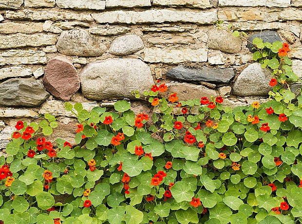 Pnooucí lichořeřišnice ozdobí zeď, stačí jí lehká opora z proutků