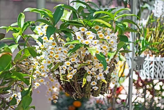 Některým orchidejím se výborně daří v závěsném koši.