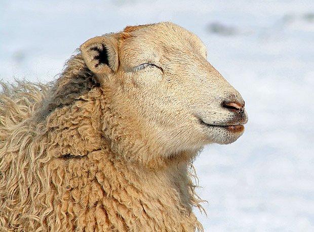 Ovce je na zimu vybavená dokonale