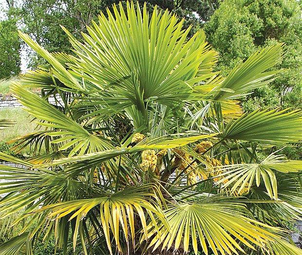 mrazuvzdorná palma