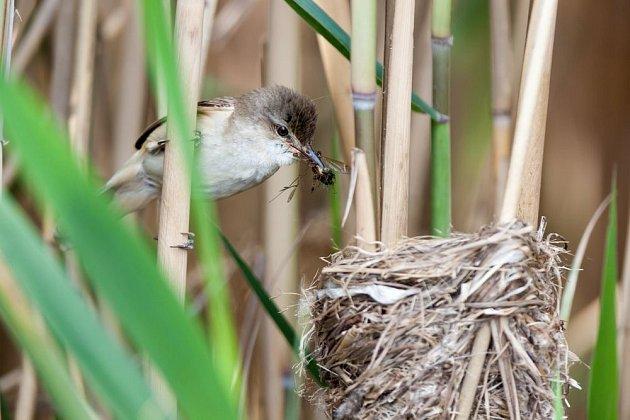 Mezi stébla rákosu zavěšují svá hnízda ptáci rákosníci
