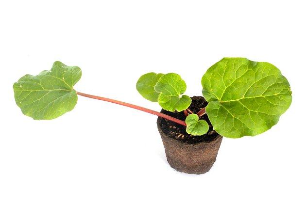 Reveň můžeme koupit již předpěstovanou.