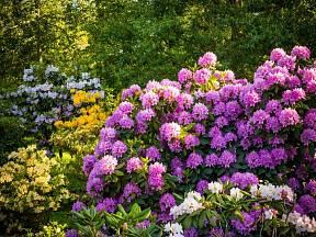 Rododendronům se daří i ve vyšších polohách