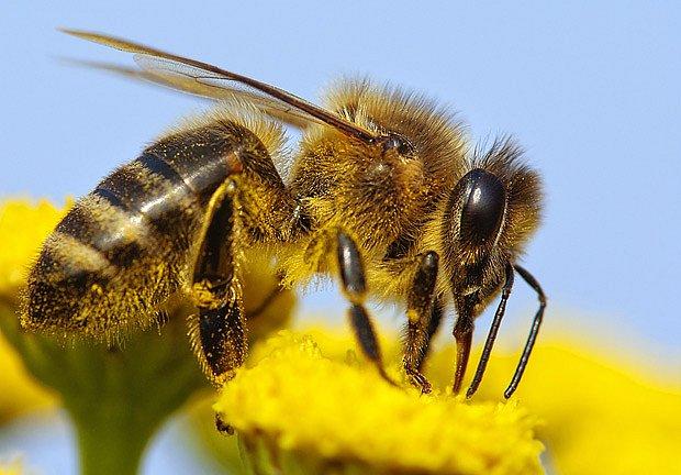 Včely sbírají nektar pro královnu i larvy
