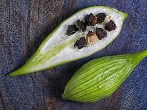 Zralé plody ačokči obsahují tvrdá černá semena.
