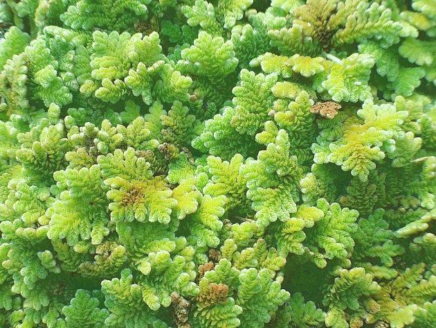 Azolka karolinská (Azolla caroliniana)