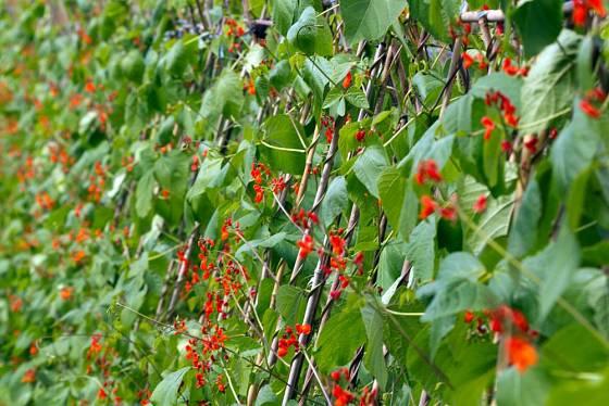 Popínavé fazole jsou užitečné i pohledné