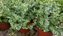 Fíkus droboučký (Ficus pumila) s panašovanými listy.