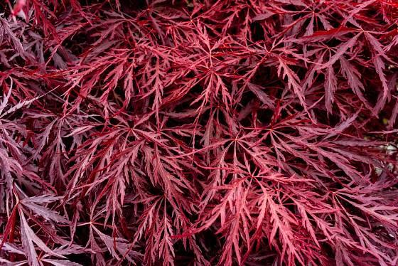 Okrasné javory se nabízejí v množství barev a tvarů listů.