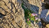 Kapara trnitá dobře roste na skalách a kamenných zdech.