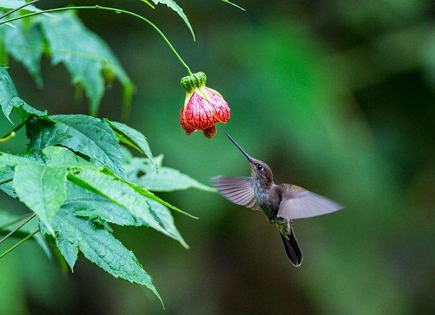 Mračňák, Abutilon, ve své jihoamerické domovině láká kolibříky