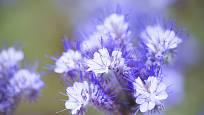 Svazenka vratičolistá krásně kvete