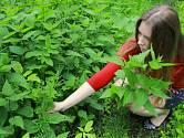 Nasbírat kopřivy si můžete na mnoha místech, rostou všude!