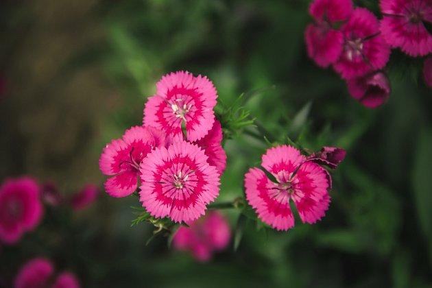 """Dianthus znamená volně přeloženo """"božský květ"""" a je složen z řeckých slov dios = bůh a anthos = květ."""
